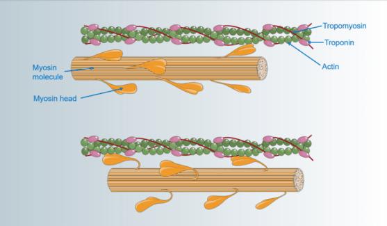 Key Difference - Linear vs Rotary Molecular Motors