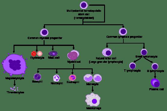 Difference Between Hematopoiesis and Hemocytoblast