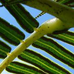 Difference Between Pulvinus and Petiole