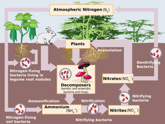 Key Difference - Water Cycle vs Nitrogen Cycle