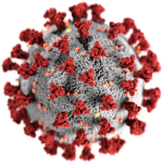 Difference Between L and S Coronavirus