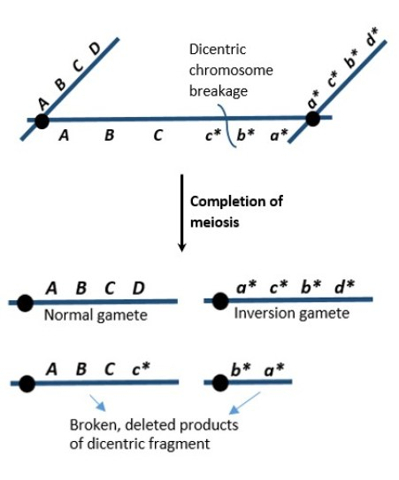 Difference Between Monocentric Dicentric and Polycentric Chromosomes
