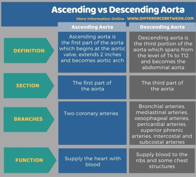 Difference Between Ascending and Descending Aorta in Tabular Form
