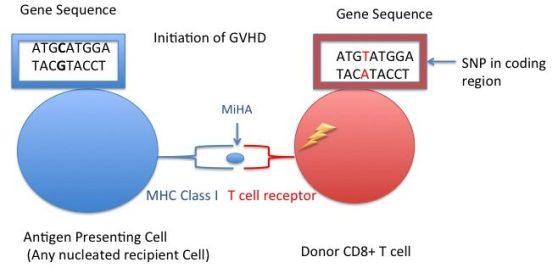 Key Difference - Major vs Minor Histocompatibility Antigens