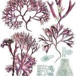 Difference Between Chlorophyceae Phaeophyceae and Rhodophyceae