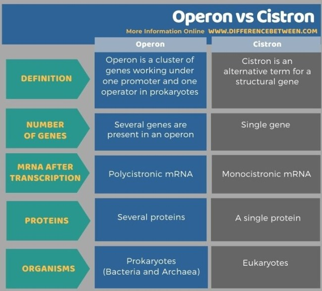 Difference Between Operon and Cistron in Tabular Form