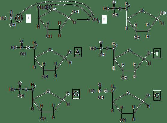 Key Difference - dNTP vs DdNTP