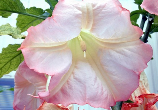 Fabaceae vs Solanaceae vs Liliaceae