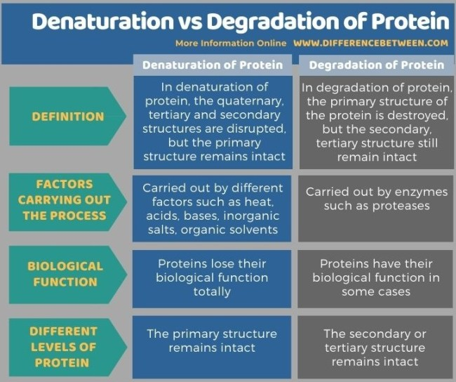 Difference Between Denaturation and Degradation of Protein in Tabular Form