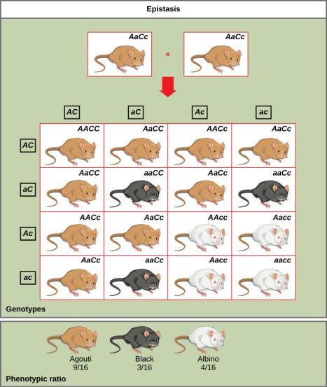Difference Between Dominant and Recessive Epistasis