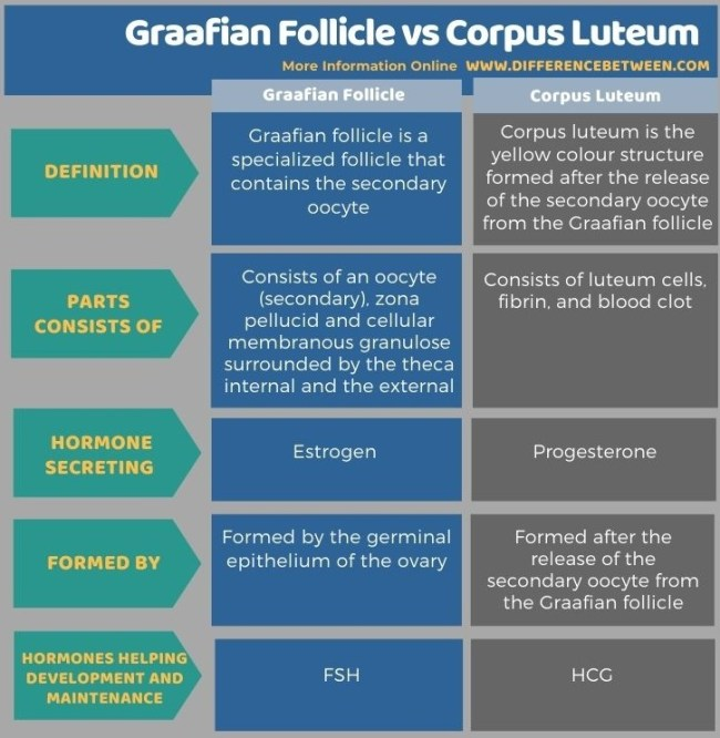 Difference Between Graafian Follicle and Corpus Luteum in Tabular Form