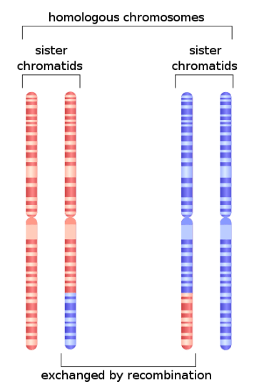 Learn about Homologous Recombination Mechanism