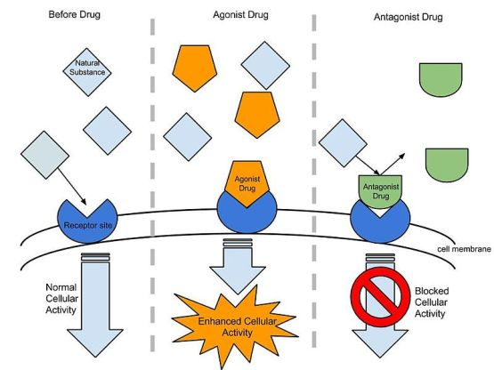 Difference - Agonist vs Antagonist Drugs