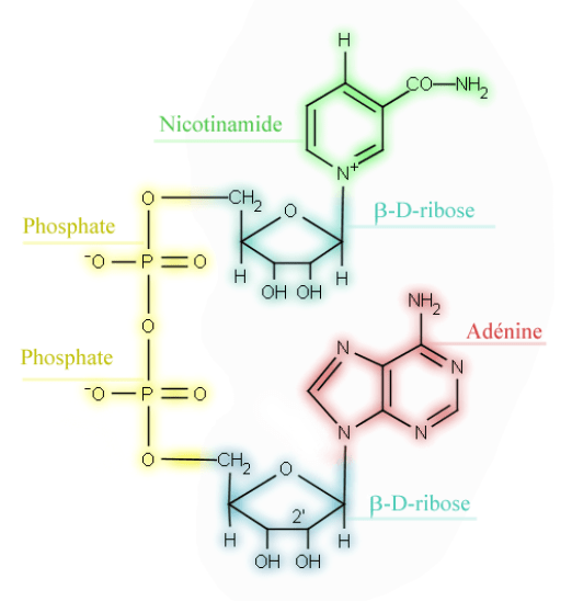 Nicotinamide Adenine Dinucleotide vs Nicotinamide Riboside