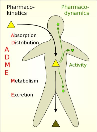 Process of Pharmacokinetics