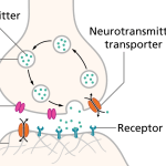 Difference Between Synapse and Neuromuscular Junction