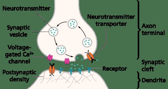 Schematics of a Synapse
