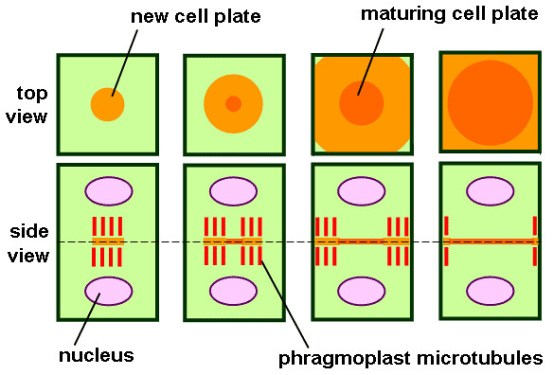 Compare Cell Plate and Cleavage Furrow