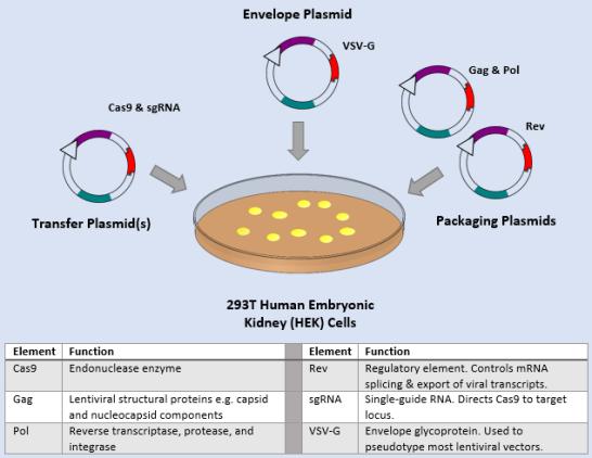 Compare Transgenesis and Selective Breeding