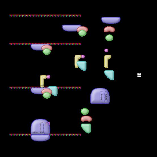Compare Prokaryotic Translation Initiation and Eukaryotic Translation Initiation