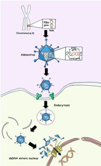 Adeno-associated Viral Vector and Adenoviral Vector - Side by Side Comparison