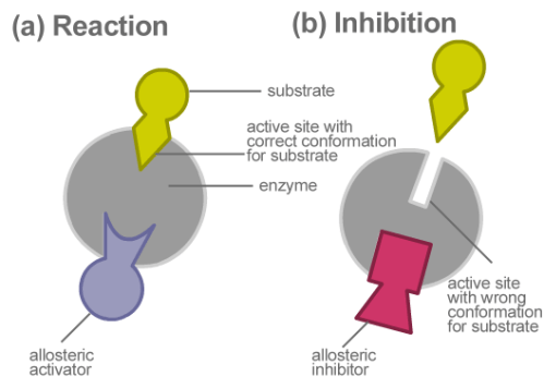 Allosteric vs Non-allosteric Enzymes in Tabular Form