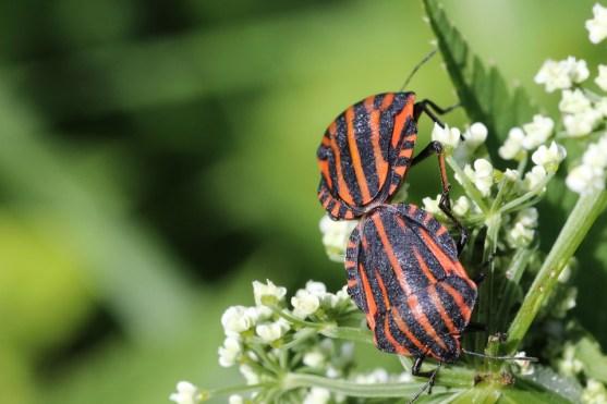 Bugs vs Beetles in Tabular Form