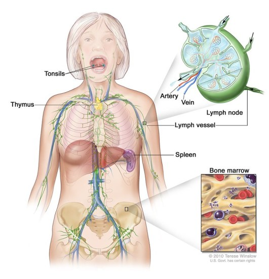 Cardiovascular System and Lymphatic System - Side by Side Comparison
