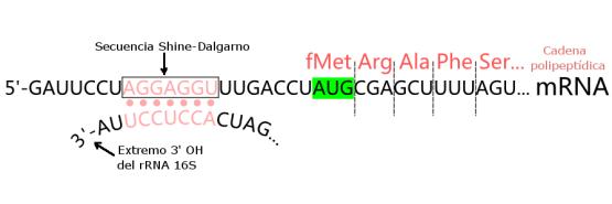 Shine Dalgarno vs Kozak Sequence in Tabular Form