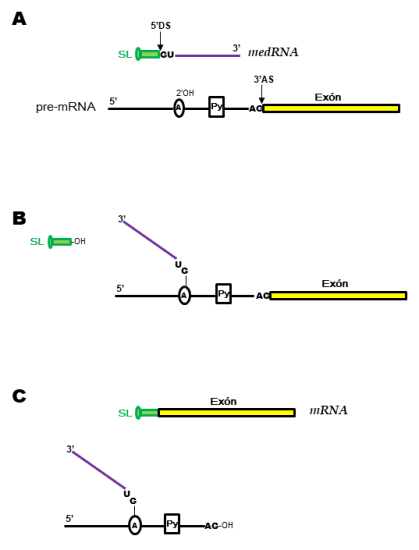 Cis and Trans Splicing - Side by Side Comparison