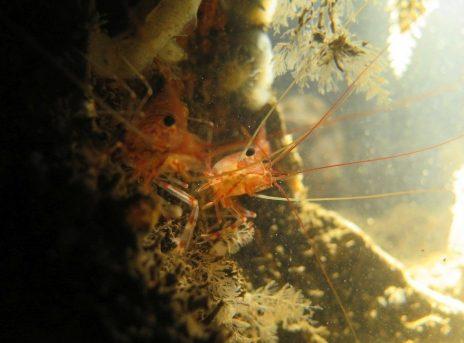 Crevettes dans les eaux de la mer du nord