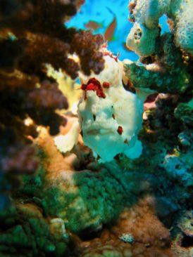 Un Frogfish vu de devant dans une patate de corail à Hurghada