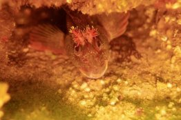 Un poisson caché en dessous d'une roche en Normandie