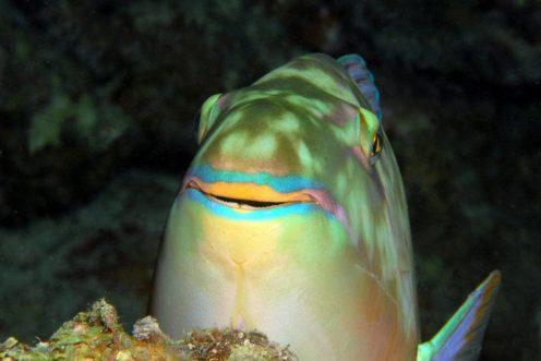 Un poisson perroquet