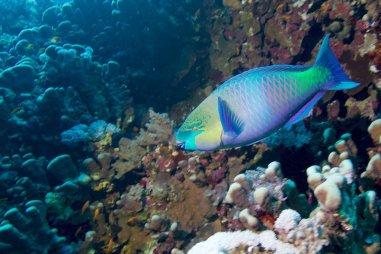 Un poisson perroquet devant le récif