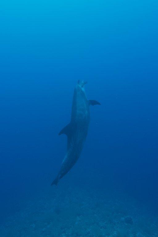 Un dauphin joue avec un morceaux de poisson