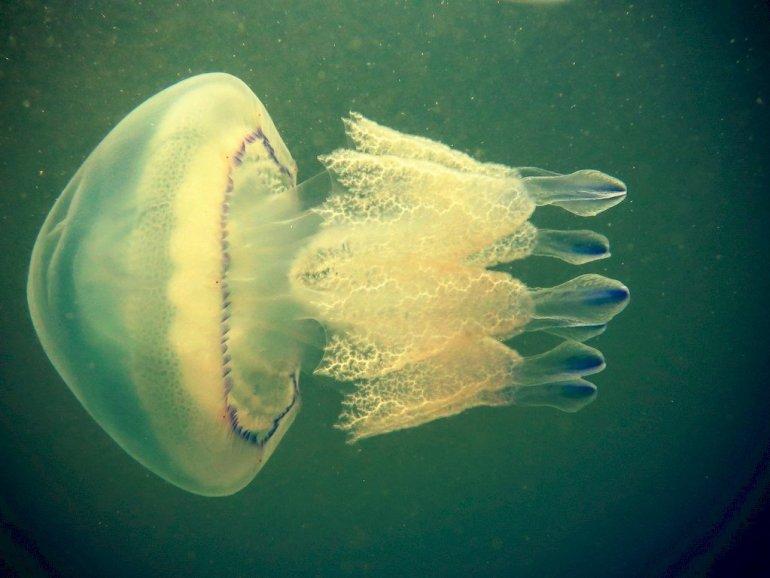 Une méduse en Zélande