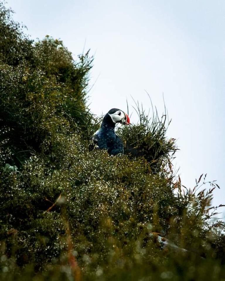 Un macareux sur une falaise près de Vik en Islande