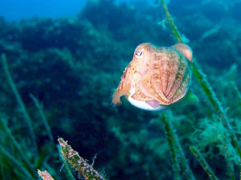 Une seiche photographiée au large des îles du Frioul