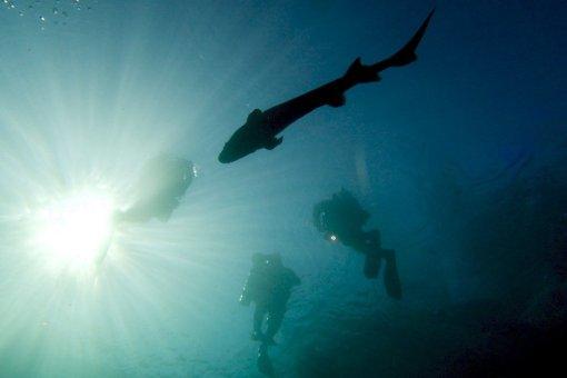 Esturgeon passant en dessous des plongeurs à la carrière de Vodelée