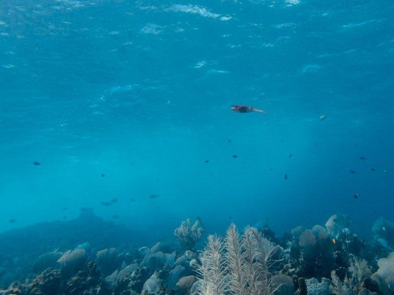 Un calamar lors d'une plongée en Jamaïque