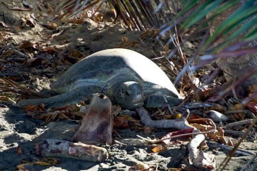 Une tortue marine dans son lieu de ponte au sud de Mayotte