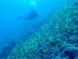 Un plongeur arrive près d'un tombant plein de poisson