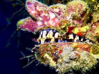 Plonger au sud de Mayotte permet l'observation de coquillages étranges comme ce coquillage