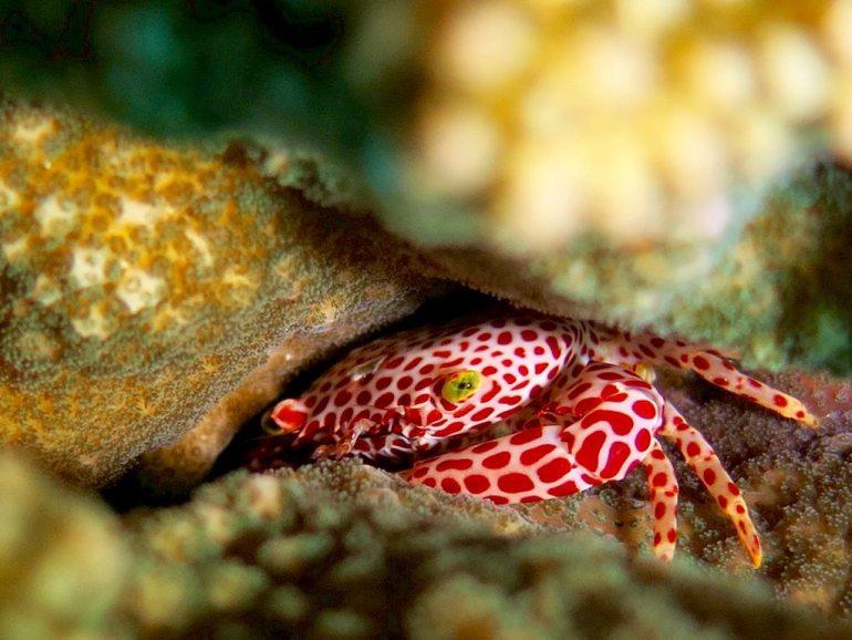 Un crabe porcelaine peut être aperçu si vous allez plonger au Sud de Mayotte