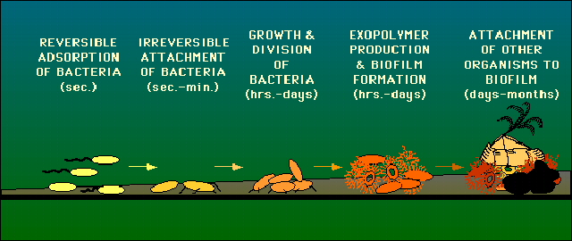 Bacterial Communication and Biofilm by Bob Henke
