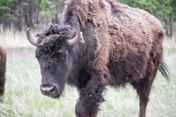 Bison up close
