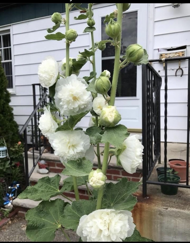Buy White Alcea Rosea Doubled Flowered Hollyhock Seeds On Etsy.