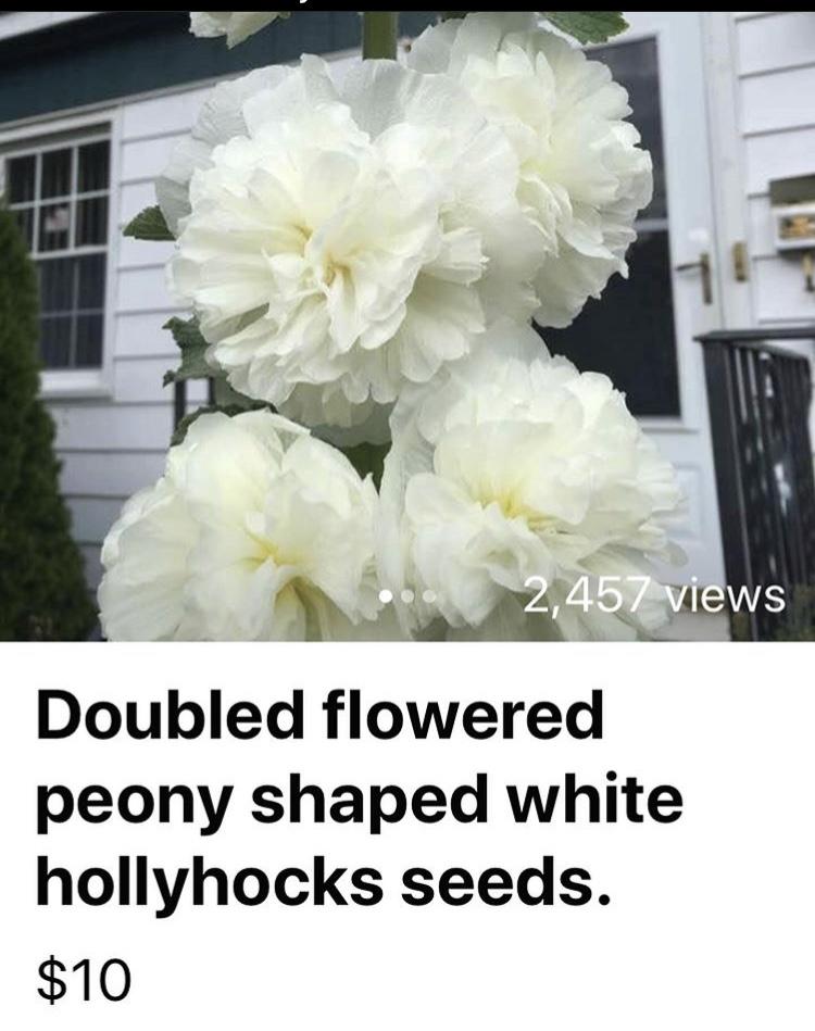 White Alcea Rosea Hollyhock Seeds on Etsy