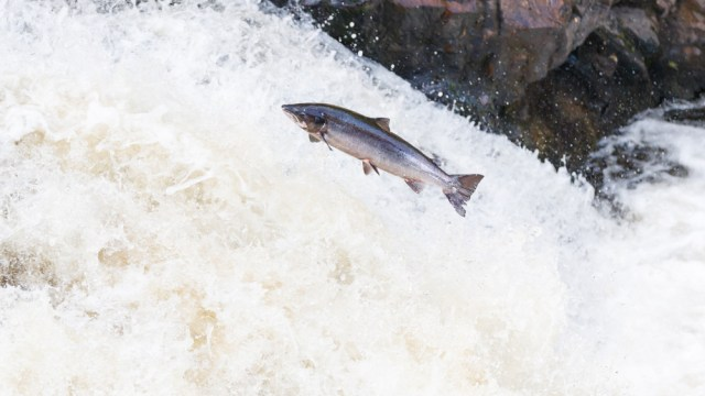 a salmon going upstream
